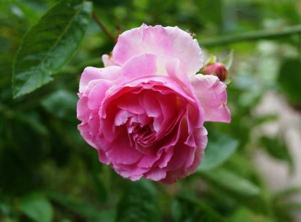 Kletterrose Tausendschön • Rosa Tausendschön
