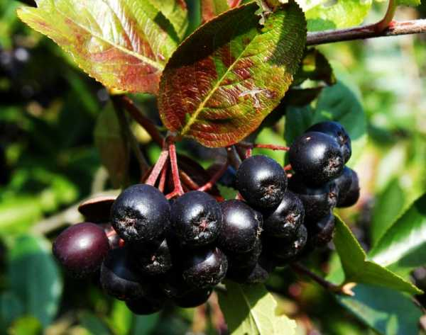 Apfelbeere Nero • Aronia prunifolia Nero