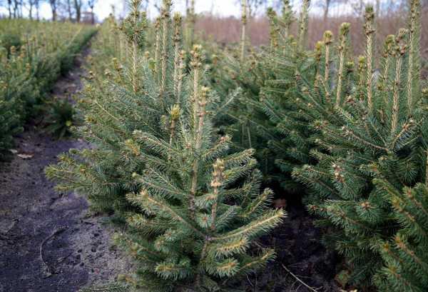 Nordmanntanne Kaufen Floranzade Ihr Online Pflanzenversand