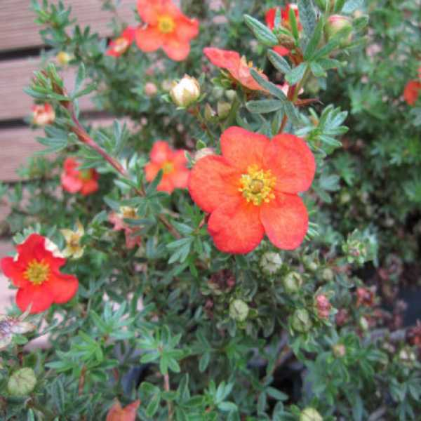 Fingerstrauch Red Ace • Potentilla fruticosa Red Ace