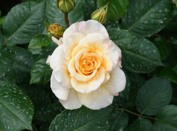 Nostalgie-Edelrose Comtessa • Rosa Comtessa