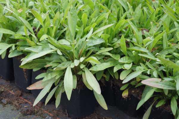 Großblumiges Garten-Mädchenauge • Coreopsis grandiflora Sonnenkind