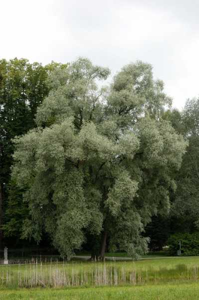 Silberweide • Salix alba