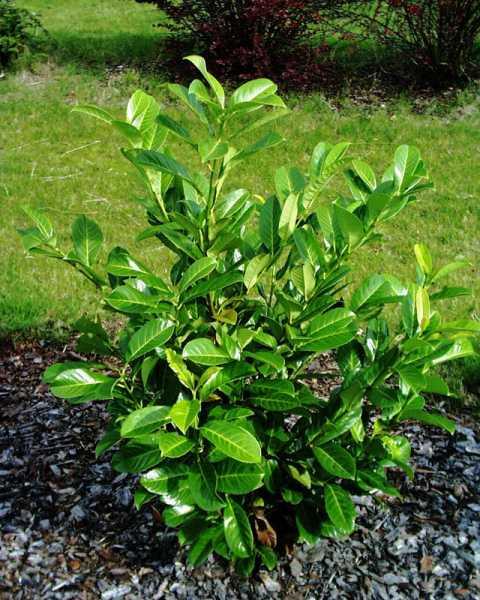 Rundblättriger Kirschlorbeer • Prunus laurocerasus Rotundifolia