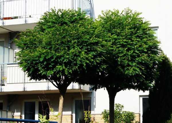 Kugelakazie • Robinia pseudoacacia Umbraculifera