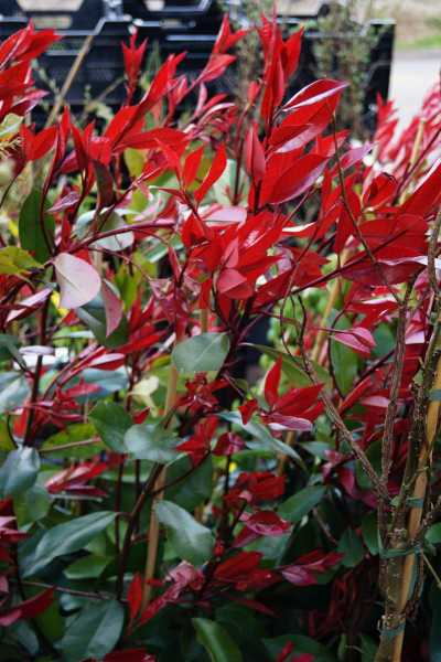 Glanzmispel • Photinia fraseri Red Robin